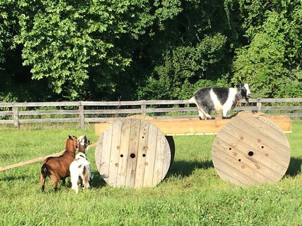 the-restoration-farm-600x450-goats-at-play