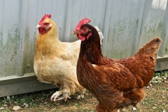 the-restoration-farm-600x450-chickens