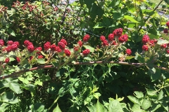 the-restoration-farm-600x450-day-program-raspberries