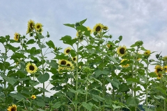 the-restoration-farm-600x450-day-program-sunflowers